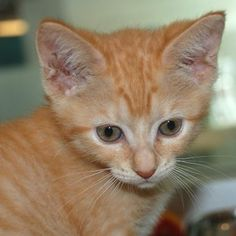 Bacon is a sweet kitten who is looking fora  loving adopter to take her home! She is available at our Mission campus!