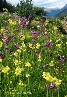 Three Dogs in a Garden: An Intrepid Plantswoman & Primula Hunter