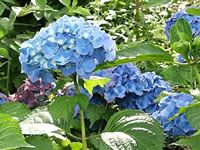 A Bright Blue Hydrangea in Bloom