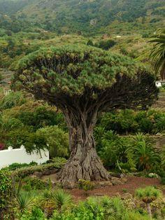 El drago Tenerife