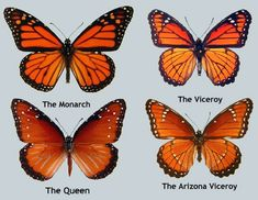 Compare Monarch and Queen Butterflies - Yahoo Image Search Results ... Queen Butterfly Vs Monarch