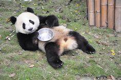 Panda     Pandas are rare and cherished in China.