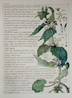 1910 Botanical Print by H. Isabel Adams: Dead-nettle Family, White Dead-nettle