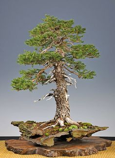 #Bonsai… Gallery of Walter Pall #European #spruce http://www.roanokemyhomesweethome.com