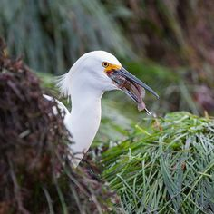 Snowy Egret, Monterey Bay, California #seancranedotcom #wildlife #wildlifephotography #nature #animals #travel #photooftheday #seancrane #wild #Nikon #egrets #birds #snowyegret #montereybay #california #fish #dinner #seagrass #loverspoint #montereybaylocals - posted by Sean Crane https://www.instagram.com/seancranephoto - See more of Monterey Bay at http://montereybaylocals.com