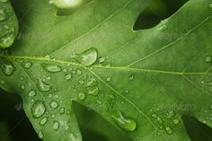 young oak leaf with rain drops ...  abstract, background, beautiful, bright, close, closeup, day, dew, drop, drops, environment, europe, forest, green, leaf, leaves, life, macro, march, natural, nature, oak, outdoor, outdoors, rain, raindrop, season, spring, structure, summer, texture, tranquil, up, water, weather, wet, yellow, young