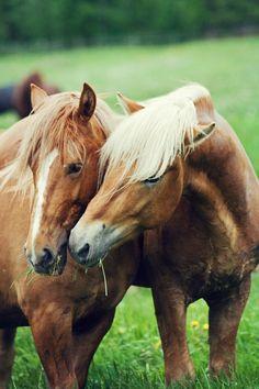 Deze paarden zijn aan het knuffelen - These horses are cuddeling