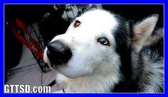 MEET MISCHA and PRINCESS the HUSKY | Neglected Husky