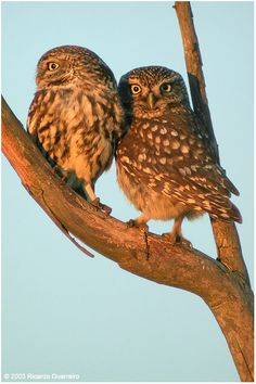 Little Owl are fierce.  I adore them.