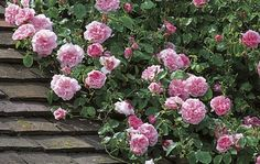 rambling rose | Buy Rambling Roses - Ramblers ...