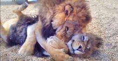 Vídeo: Estes irmãos leões foram resgatados de um circo e agora não param de se abraçar!