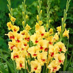 Jester Gladiolus | American Meadows