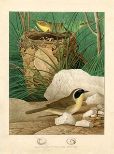 Vintage Birds and Nest Printable This is a fabulous Vintage Birds and Nest Printable! This comes from a rare 1880′s Natural History Bird Book in my collection! This picture shows 2 adorable yellow and brown Birds. According to the print they are Maryland  Yellow Throats. - See more at: http://thegraphicsfairy.com/vintage-birds-and-nest-printable-yellow-throats/#sthash.johBwP5C.dpuf