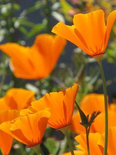 CA Poppy Awesome Stuff, Fun Stuff, California Poppy, Beautiful Butterflies, Wall Collage, Poppies, Gardens, Paintings, Orange