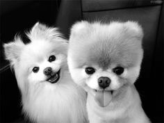 Sweet Pomeranian dogs, Boo and Buddy! Cute Puppies, Cute Dogs, Dogs And Puppies, Toy Dogs, Doggies, Silly Dogs, Puppies For Sale, Animals And Pets, Baby Animals