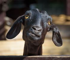 The horizontal pupils in a goat's eyes give them a wider field of vision and help them watch for predators.