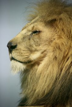 """The Proud Lion """"King of Jungle"""""""
