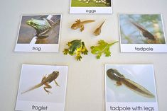 Lots of frog links, including one to these life cycle cards on free pdf.  From Living Montessori Now.