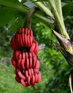 Red banana is one of the most popular fruit in the recent days. It is usually known with it's so small size. Andwhat is red banana? What are the benefits of red banana? Fruit And Veg, Fruits And Vegetables, Fresh Fruit, Tropical Fruits, Tropical Plants, Red Banana Tree, Pink Banana, Banana Plants, Red Banana Plant