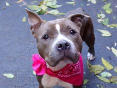 TO BE DESTROYED - 11/10/14 Manhattan Center -P  My name is CARMEN. My Animal ID # is A1019245. I am a female blue and white pit bull mix. The shelter thinks I am about 2 YEARS   I came in the shelter as a STRAY on 10/31/2014 from NY 10456, owner surrender reason stated was STRAY.