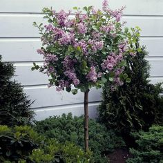 Garden Shrubs, Patio Plants, Garden Trees, Garden Plants, Small Trees For Garden, Dwarf Korean Lilac Tree, Dwarf Lilac Tree, Dwarf Flowering Trees, Dwarf Trees For Landscaping