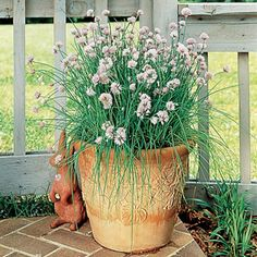 If you like chives, you'll have to try garlic chives!  The same great mild onion flavor is imparted with a distinctive garlic scent and taste. Both the flat, grasslike leaves and the 1-inch white flowerheads can be used in a variety of your favorite dishes.