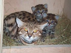 Black-footed cat: mum with kittens