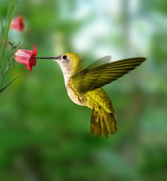 Humming birds are attracted to red flowers.