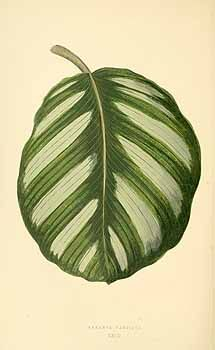 Calathea fasciata (Linden ex K. Koch) Regel & Körn. [as Maranta fasciata Linden ex K. Koch]  / Rothschild, J., Les plantes a feuillage coloré [original ed. E.J. Lowe and W.  Howard, Beautiful leaved plants (1861)], vol. 1: t. 23 (1867)