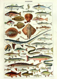1923 Vintage french fishes engraving, original sea life antique plate color print, dictionary marine animals old illustration,shark ray fish...