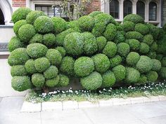 What an interesting shrubbery! Makes you feel like you live in Alice's wonderland