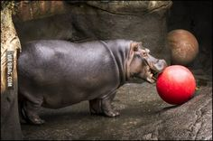 Hippo with a red ball omg I'm in love
