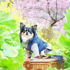 【kotamama1115】さんのInstagramをピンしています。 《桜と菜の花♥  この場所にたどり着くまでに、何度も引き返そうか?って思うくらいの急な坂道があるんだけど、今年もこの景色に会うことが出来ました❗  いよいよ来週は本番❗❗ 去年の悔しい思いを、リベンジする準備はOKだよ😁  @furbo_japan さんのコンテストに参加します🎵  #チワワ#ちわわ#犬バカ部#ふわもこ部#カメラ練習中#カメラ好きな人と繋がりたい#はなまっぷ#はなまっぷ菜の花2017 #桜#河津桜#菜の花#写真好きな人と繋がりたい》