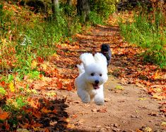 BICHON  A happy Bichon Frise in Autumn