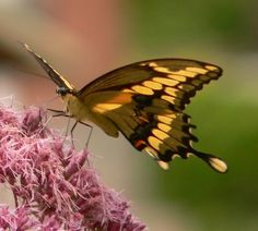Moth, Butterflies, Insects, Birds, Landscape, Animals, Animales, Scenery, Animaux