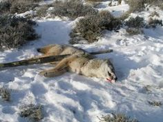 I recently started shooting in a trap league one night a week to continue practicing shotgunning coyotes. The trap league consists of shooting a round of Coyote S, Coyote Hunting, Hunting Tips, Hunting Stuff, Coyote Trapping, Bow Hunting Deer, Predator Hunting, Hunting Equipment, Shotguns
