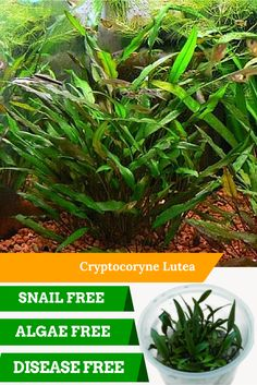 Cryptocoryne Lutea has beautiful bronzed leaves. It is ideal as a midrange plant growing 10-15cm tall