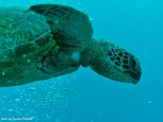 Great shot from GlobaLinks Learning Abroad student Jennifer Polinski off the coast of Australia. Hello turtle! #studyabroad #Australia #marinelife