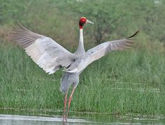 Sarus Crane, Grus antigone: How's that for a Sun Salutation? The Sarus crane is the tallest of the flying birds, 5.9', is found in parts of India, Southeast Asia and Australia.
