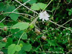 Love-in-a-mist (Passiflora foetida), wild maracuja, bush passion fruit, marya-marya, wild water lemon, stinking passionflower, running pop - at Mettupalyam, Coimbatore