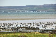 Barnacle Geese and Bruichladdich distillery, Isle of Islay
