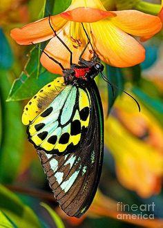 Cairns Birdwing Butterfly - by Millard H. Sharp