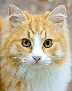 Cat by Iosif Giannakopoulos Cute Cats And Kittens, Cool Cats, Kittens Cutest, I Love Cats, Pretty Cats, Beautiful Cats, Animals Beautiful, Baby Animals, Cute Animals