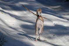 Whippet. By laura75235.Could you add me please?http://www.facebook.com/enes.kucukoglu.509  https://twitter.com/eneskucukoglu  http://www.linkedin.com/profile/view?id=195349967=tab_pro
