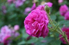 'Henri Martin' a Moss rose from 1862   heirloom gardener: Six Trouble-Free Heirloom Roses: Rose de Rescht, Paul Neyron, Madame Plantier, Variegata di Bolgona, Henry Martin, and Tuscany Superb