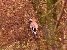 Fotó Blue Jay, Bird, Animals, Animales, Animaux, Birds, Animal, Animais