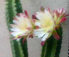 Cactus flowers bloom for 1 day