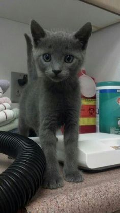 5aeb581fc88f6 a beautiful kitten that needs adoption at Kauai Humane Society.