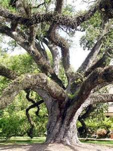 "Louisiana ""Live Oak"" Photo - New Iberia, New Iberia, Louisiana"