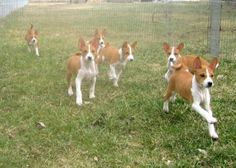 Basenji puppies out for a run